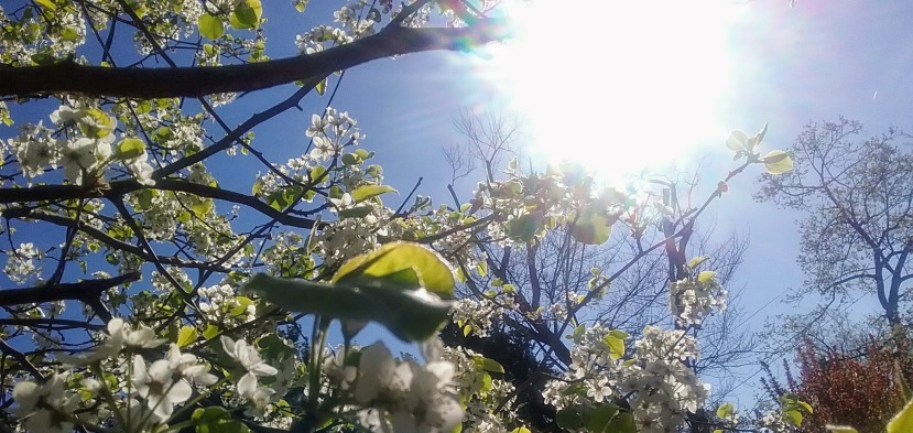 Sun shining in Taurus strength through the blossoms. Copyright Catherine Goshen 2017