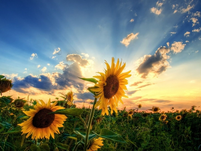 Sunflowers for Spring, Courtesy of Wallup.net