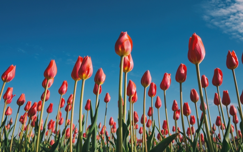 Red tulips: Photo by Aaron Burden