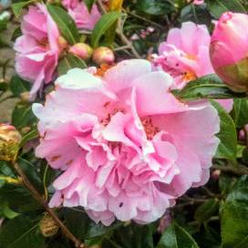 Camellia with thunder bugs by Debbie Lee Mallinick