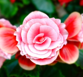 White petaled flower with pink: Photo by 贝莉儿 NG